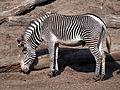 Zebra in Dierenpark Amersfoort, photo 1.JPG