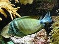 Zebrasoma desjardinii 0002.jpg