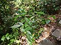 Zehneria ¿ maysorensis - bodinieri - else ? (16016010170).jpg