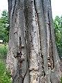 Zelkova crenata trunc 01 by Line1.jpg