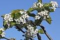 Zierbirne = Pyrus calleryana Chanticleer (2020-03-22 Sp).JPG