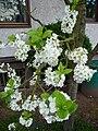 Zweig an einem Pflaumenbaum.JPG