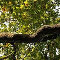 'Quercus robur' trunk Nuthurst West Sussex England.jpg