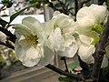 (銀長壽x長壽冠)海棠 Chaenomeles x superba hybrid -南京莫愁湖 Nanjing Mochou Lake, China- (33548704916).jpg