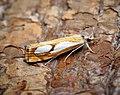 (1313) Catoptria pinella (35239701523).jpg