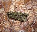 (2248) Brindled Green (Dryobotodes eremita) (37009601310).jpg
