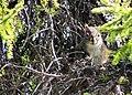 Écureuil roux de Baie-James.jpg