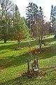 Žampach, dolní zámecký park, Jírovec žlutý.jpg