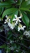 Ρυγχνόσπερμο - Trachelospermum jasminoides.jpg