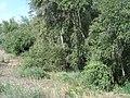 Береза дніпровська Betula borysthenica Klokov,.jpg