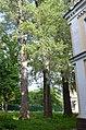 Група вікових дерев тополі білої, Печерський район вул. Госпітальна, 16, Корпус 18 02.jpg