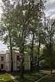 Група вікових дерев тополі білої 09.jpg
