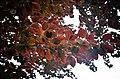 Листя буку червоного у Хмельницькому.jpg