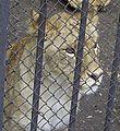 Львенок (Penza Zoo 2009).jpg