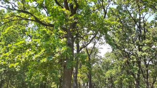 File:Ліс в Чагарах.webm