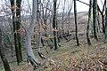 Молодой дубово-буковый лес на склоне - panoramio.jpg