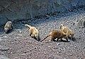 Носуха в Рівненському зоопарку DSC 0796.jpg