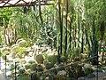 Нікітський ботанічний сад161(алея кактусів).JPG
