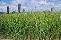 Ориз во Кочанско 07.jpg