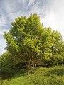 Полски ясен - дървета.jpg
