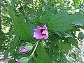 Сиријска ружа, Ботаничка башта Јевремовац, 03.JPG