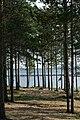 Сосны на берегу озера Нижняя Пиренга.jpg