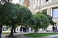 Софора японская плакучая в Одессе. Фото 3.jpg