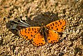 Шашечница красная Melitaea didyma Spotted Fritillary or Red-band Fritillary Rote Scheckenfalter (32477280356).jpg