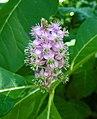 多雄蕊商陸 Phytolacca polyandra -溫哥華植物園 VanDusen Botanical Garden, Vancouver- (36331662552).jpg