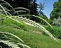 大賴草 Leymus racemosus -維也納大學植物園 Vienna University Botanical Garden- (27922011833).jpg