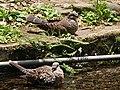 斑鳩 Turtledoves - panoramio.jpg