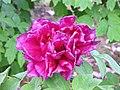 日本牡丹-群芳殿 Paeonia suffruticosa Gunpoden -武漢東湖牡丹園 Wuhan, China- (12516911175).jpg