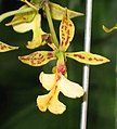 樹蘭屬 Epidendrum stamfordianum -香港公園 Hong Kong Park- (9222654440).jpg