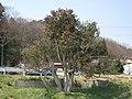 殕森(かぶれもり)のツバキ - panoramio (1).jpg