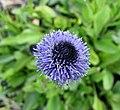 球花屬 Globularia meridionalis -比利時國家植物園 Belgium National Botanic Garden- (9200882236).jpg