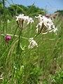 白花のムシトリナデシコ.JPG