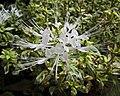 花葉貓鬚草 Orthosiphon aristatus Variegated -香港公園 Hong Kong Park- (9240278160).jpg