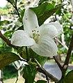 長果月橘 Murraya paniculata v omphalocarpa -墾丁恒春熱帶植物園 Hengchun Tropical Botanical Garden, Taiwan- (27094541098).jpg