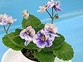 非洲紫羅蘭 Saintpaulia Mac's Simply Sublime Sport -香港北區花鳥蟲魚展 North District Flower Show, Hong Kong- (31845235946).jpg