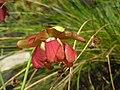 鸚鵡瓶子草 Sarracenia psittacina -阿姆斯特丹植物園 Hortus Botanicus, Amsterdam- (9204858585).jpg
