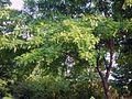 주엽나무.JPG