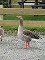 -2019-03-08 Greylag Goose (Anser anser), River Bure, Wroxham (1).jpg