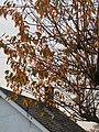 -2019-11-16 Autumn leafs in Trimingham.JPG