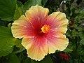 03601jfHibiscus rosa sinensis Philippinesfvf 02.JPG