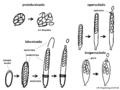 04 03 04 tipos de ascos, Ascomycota (M. Piepenbring).png