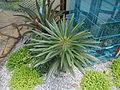 05667jfMidyear Orchid Cactus Shows Quezon Cityfvf 26.JPG