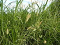 09986jfLandscapes Kans Grass Maronquillo San Rafael Bulacanfvf 11.JPG