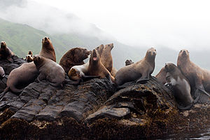 Sea of Japan - Sea lions on Moneron Island