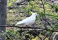 1 Sulphur crested cockatoo Marsfield 001.jpg