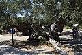 2000 years old oil three - panoramio.jpg